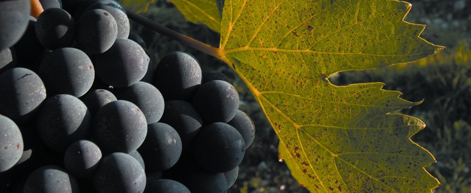 nebbiolo grapes for old world red wine